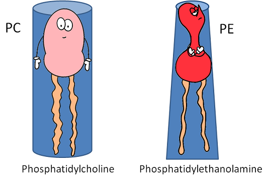 the shapes of different phospholipids