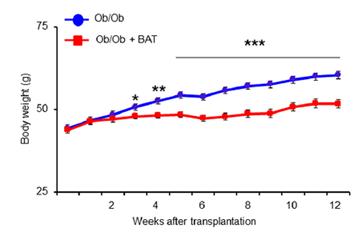 weight following bat fat transplant