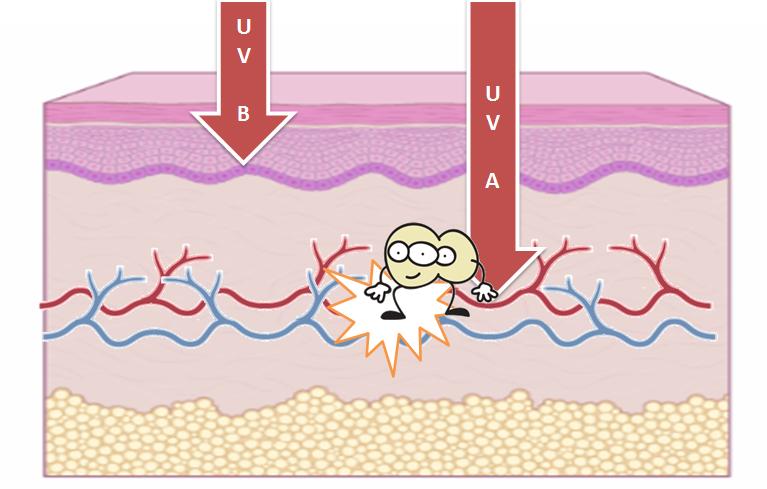 uv-a light penetrating skin causing vasodilation