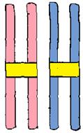 homologous pair