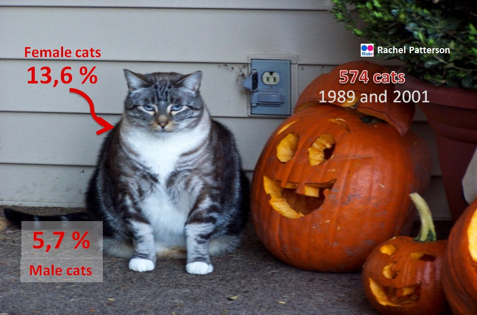 a very fat cat next to some pumpkins