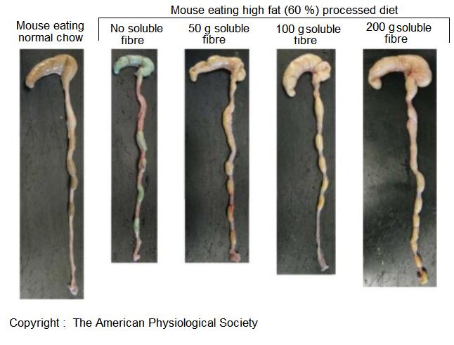 Gut morphology on high fat diet