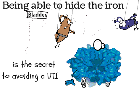 urinary tract infections and iron availablity
