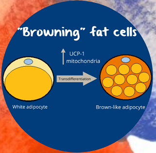 browning of fat cells