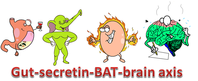 the gut-secretin-bat-brain axis