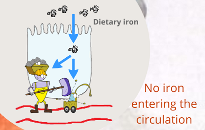 no iron entering circulation