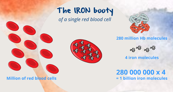 the iron in a red blood cell