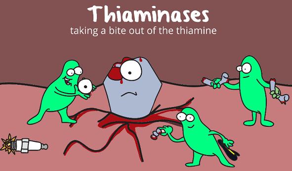 thiaminases pulling thiamine apart