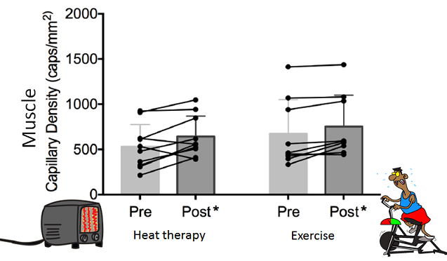 Increase in capillary density of muscles following sitting in a hot room