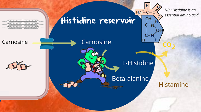 blood vessel histidine reservoir