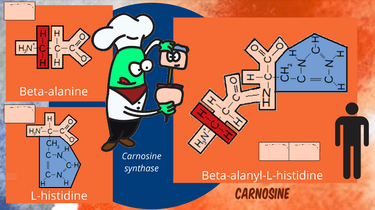 making carnosine