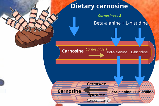 the uptake of dietary carnosine