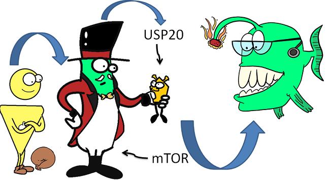 E3 ligase gp78 signalling cascade