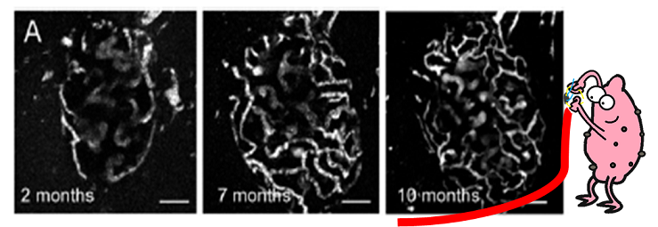 Images of blood vessels in transplanted islets