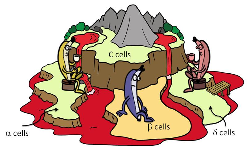 Cartoon version of islets of Langerhans