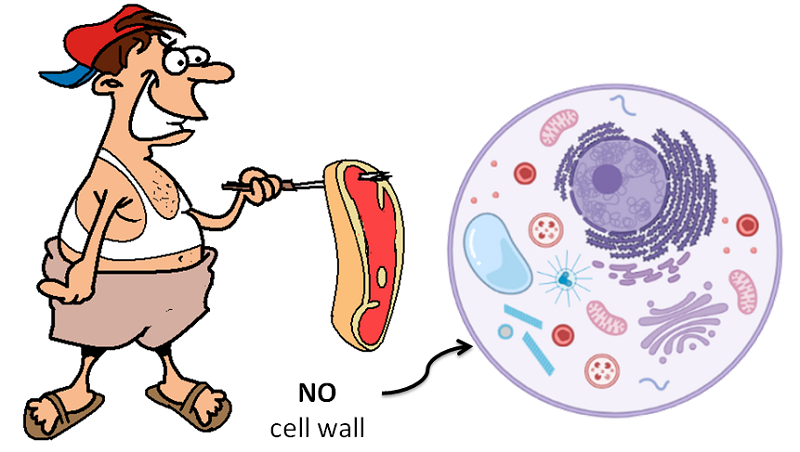 animal foods have no cell walls